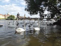 day on the river (Ms Kat) Tags: prague praha river vltava charlesbridge birds swans ducks mrowrr