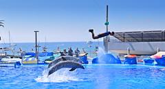 Dolphins throw man at Marineland (MartinHots) Tags: jump dolphin animal water show exhibit fun jumping sea pool
