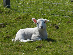Wee lamb at Red Point, Wester Ross, May 2016 (allanmaciver) Tags: wee lamb animal white wait patient green grass farm red point wester ross highlands scotland allanmaciver