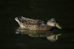Duck_SAF3294 (sara97) Tags: copyright2016saraannefinke duck ducks missouri nature outdoors photobysaraannefinke saintlouis towergrovepark urbanpark waterfowl wildlife