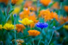 5C8A7666 (pbruch) Tags: calgary prairies grain canola growing seaon flowers flowering rape seed dirt road endless horizons