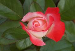 Reborn... (NaturewithMar) Tags: rose rosa macro leaves nikoncoolpix l330