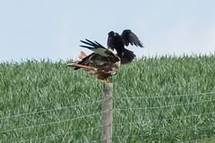 "Red Kite & Raven May 2016 ""An Encounter"" (4) (jgsnow) Tags: ravenredkite bird raptor redkite raven conflict corvid"