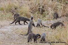 Comay_20160807_Tanzania_DSC_9273 (Josh Comay) Tags: africa land mongoose natecomay shotby tanzania