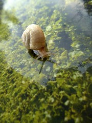 in visita sulla vigna :) (fotomie2009 OFF) Tags: francia vidauban lumaca chiocciola snail animal fauna
