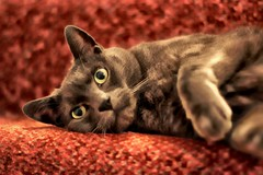 cat (Jackal1) Tags: cat russianblue pet feline whiskers eyes