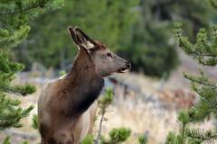 Young Elk (brian.bemmels) Tags: elk wapiti cervuscanadensis cervus canadensis yellowstone national park yellowstonenationalpark young juvenile