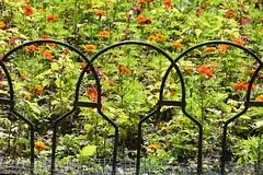 Organic / Inorganic [Happy Fence Friday] (Omunene) Tags: fence fencefriday bruges belgium garden urbangarden flowers wroughtiron