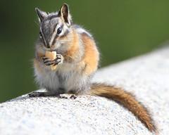 Fluff on a peanut  :) (Paridae) Tags: chipmunk yellowpinechipmunk cute mammalsofbritishcolumbia afewofmyfavouritethings canoneos7d eutamiasamoenus rodentsofbc sciuridae rodentia hibernator cuteanimals