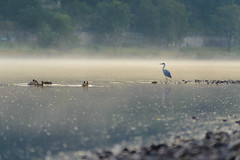 Good morning Mr. Heron! (derliebewolf) Tags: reiher vgel wildlife commuting cycling dresden sachsen deutschland de heron greyheron bluehour goldenhour elbe germany nature landscape fog mist