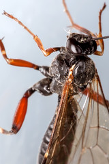 Legs in All Directions - _TNY_4939 (Calle Sderberg) Tags: macro canon canon5dmkii canonef100mmf28usmmacro canoneos5dmarkii raynox dcr250 yongnuo yn14ex flash ringflash insect wasp ichneumonidae ichneumon pimplinae stekel parasitstekel parasiticwasp parasitoid buktlppstekel brokparasitstekel compoundeyes