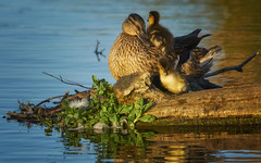 Bedtime (paulinuk99999 - just no time :() Tags: paulinuk99999 mallard duck ducklings sunset dusk nest park sal70400g london wildlife bushypark explore august summer 2016