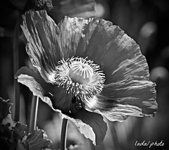 IMG_6650_Gray is just another color. (lada/photo) Tags: bw blackandwhite monotone flower poppy ladaphoto