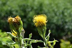 Dotted (petrOlly) Tags: europe europa poland polska polen lodz nature natura przyroda garden inthegarden summer flower flowers blume blumen bokeh