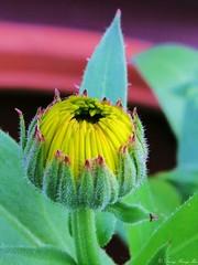 Die Ringelblume (duonghoangmai) Tags: flowercolors flowerphotography naturephotography naturelovers naturephotos flowers blumen gardening blossom blüte macko ringelblume calendula officinalis