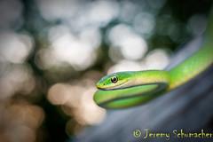 Rough Green Snake (Jeremy Schumacher) Tags: rough green snake opheodrys aestivus reptile serpent bokeh animal nature wildlife macro 40mm nikon d5000 illinois shawnee forest