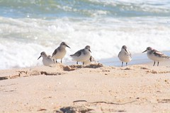 sand skimmers (f.tyrrell717) Tags: sea side sand skimmers beach ocan shore
