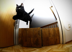 Supercat (CoolMcFlash) Tags: pet black animal cat canon fur fun eos jump funny action raum room sigma wideangle fisheye lustig barrier katze obstacle fell haustier barriere tier supercat 10mm weitwinkel spas springen schwarze fischauge hindernis 60d