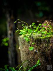 (atogdude) Tags: wood blur green leaves garden botanical 50mm moss vines bokeh olympus wellington zuiko e520 magnificentcreation atogdude