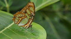 DSC03116 (skunkiller.) Tags: macro jaune vert papillon blanc insecte feuille