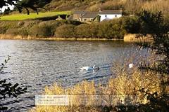 Walk Around Loe Pool, Helston (doublejeopardy) Tags: lake water reeds cornwall helston loepool penroseestate