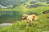 Berry (.:: Maya ::.) Tags: summer dog mountain lake outdoors golden retriever bulgaria rila планина куче рилски езера рила седемте голден mayaeye mayakarkalicheva маякъркаличева ретривър