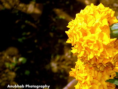 Flavour of Beauty....... (Anubhab's Photography) Tags: west flower beauty garden flickr pics indian north best bengal marygold jalpaiguri flickraward anubhab