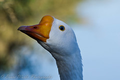 Got my eye on you! (Arizphotodude) Tags: arizona bird nature water birds animal animals flying wings nikon bokeh wildlife birding flight az 300mm gilbert nikkor avian 2012 ariz snowgoose gilbertriparianpreserve riparianpreserve d7k d7000 nikond7000 riparianranchatwaterpreserve brucewolke gilbertmeetup