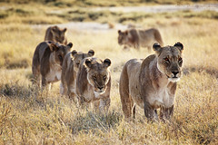 #13. Being surrounded by a pride of 20 lions [Explored #183 19-11-12] (..illi..) Tags: africa cat cub ngc lion safari npc namibia lioness etosha undertheafricansky