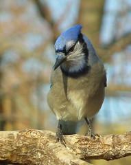 Thinking........ (vtpeacenik) Tags: bird october vermont bluejay