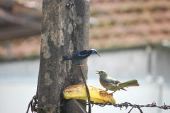 Palm Tanager (Thraupis palmarum) and Red-legged Honeycreeper (Cyanerpes cyaneus) (Sky and Yak) Tags: palm centralamerica tanager redlegged cyaneus thraupis honeycreeper cyanerpes palmarum