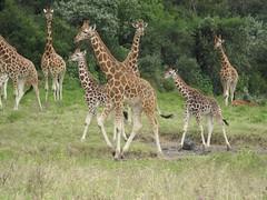 Great respect for the Big Five but ... I love Giraffes (www.kenyanonsolosafari.com) Tags: kenya nairobi safari giraffe savannah bigfive masaimara savana giraffecentre
