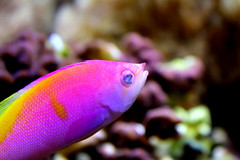 Bartlett's Anthias (--[Shock]--) Tags: fish do tank jake you random thing spam like tags cleaning business skype wtf anthias bartletts my youngmoneyswag