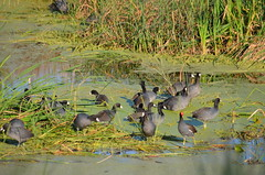 Male common moorhen and his harem (vacationer1901) Tags: florida alligator greatblueheron whiteibis greategret snowyegret tricoloredheron anhinga shorebirds stmarksnationalwildliferefuge commonmoorhen redheadduck queenbutterfly glossyibiswoodstork