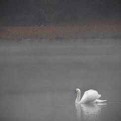 Gegenverkehr (Nitekite) Tags: canon wasser nebel herbst kln waking schwan frhsport decksteinerweiher klnslz nitekite