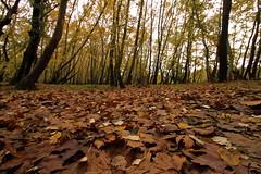 The carpet (Simos1968) Tags: autumn leave canon carpet 7d simos1968