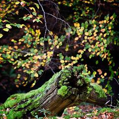Colores de otoo en Navarra (XVI) (Angel Villalba) Tags: autumn trees green nature leaves yellow vegetation pyrenees navarra ocher