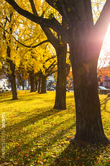 Autumn Limited / Kyoto, Japan (yameme) Tags: travel japan canon eos ginkgo maple kyoto    kansai     higashihonganjitemple 24105mmlis 5d3 5dmarkiii