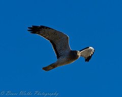 Northern Harrier Hawk (Arizphotodude) Tags: arizona bird nature birds animal animals flying wings nikon wildlife birding flight az 300mm gilbert nikkor avian 2012 ariz gilbertaz northernharrier waterranch gilbertriparianpreserve riparianpreserve d7k d7000 nikond7000 riparianranchatwaterpreserve brucewolke