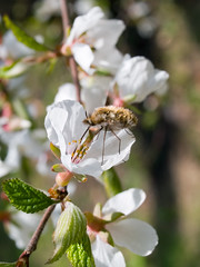 honeybee on blooming branch of cherry (Maxim Tupikov) Tags: life park blue light sky cloud sun white plant flower macro tree green nature ecology floral beautiful beauty japan closeup fruit garden season insect cherry outdoors fly leaf spring flora heaven day pattern natural bright blossom gardening background harvest grow plum sunny fresh petal bee clear growth honey twig bloom cheerful botany fertility honeybee blooming beekeeping