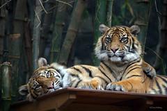 Sibling Love (loobyloo55) Tags: sydney sumatrantiger tarongazoo pantheratigrissumatrae canon7d flickrbigcats blinkagain