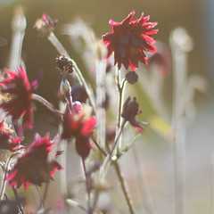 (martinalinnea) Tags: flowers red aquilegia m42 columbine blommor 2012 supertakumar50mm akleja mygarden2012