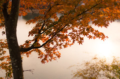 Maple Tree at Daikakuji (maida0922) Tags: autumn orange reflection tree water leaves maple pond kyoto branch 京都 k5 daikakuji 大覚寺 大沢池 fa31mmf18ltd