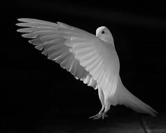 Paloma XXIV (jesusgag) Tags: palomas elitegalleryaoi diamondclassphotographer blackdiamond flickrdiamond bestofblinkwinners blinkagain natureselegantshots vigilantphotographersunite blinksuperstars vpu2 vpu3 vpu4 blink4gallery colombe paloma pigeons pigeon sundaylights