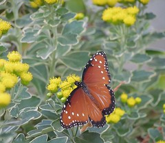 Queen Butterfly (Danaus gilippus) (libraryrivergirl) Tags: orange white black dallas texas danausgilippus queenbutterfly