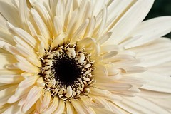 12-03-cream-gerbera (Paul Sibley) Tags: flower ngc photoaday nikond60 2012inphotos