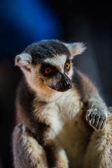 The Lemur (Kristian Hedberg) Tags: eye animal animals canon fur eos skne paw eyes sweden ears claw lemur ear 5d sverige lemurs paws claws furs helsingborg djur tass markiii ron gon pls tropikariet lemurer tassar canoneos5dmarkiii ringsvansadlemur