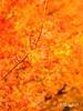 秋雨 autumn rain (ayumi_yoruko) Tags: autumn red tree fall nature beauty rain japan canon 50mm tokyo maple bokeh 日本 東京 紅葉 秋 木 waterdrops 自然 椛 水滴 もみじ 雨 赤 ボケ モミジ 秋雨