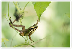 The Acrobatic Frog 杂技蛙 (Vin PSK) Tags: