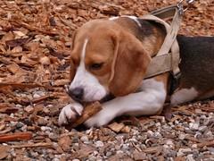 P1260470 (RRT:D*:D*) Tags: italy dog animal animals cane animali animale trentino tirolo brunico sudtirol bruneck sudtirolo rrtdd